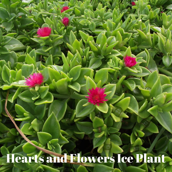 Hearts and Flowers Ice Plant