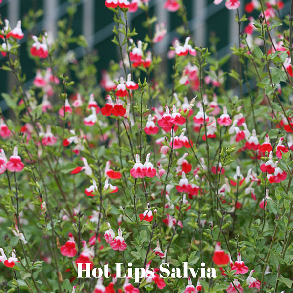 Hot Lips Salvia