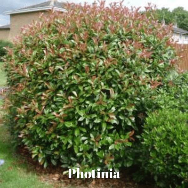 Photinia
